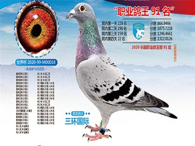 北京长阳国际赛鸽俱乐部职业鸽王91名