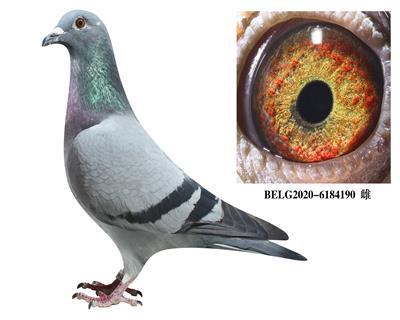 比利时-【斯密茨】-原舍种鸽190