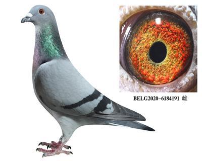 比利时-【斯密茨】-原舍种鸽191