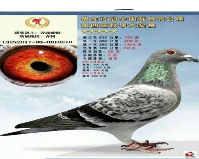 黑龙江冠宇国际赛鸽公棚决赛160名大团体冠军之一