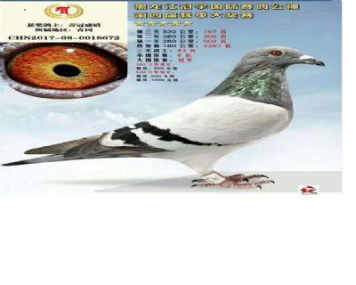 黑龙江冠宇国际赛鸽公棚决赛167名大团体冠军之一