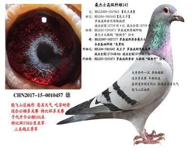 【桑杰士】基础种鸽