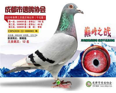 2020秋成都市鸽协千元特比三关鸽王12