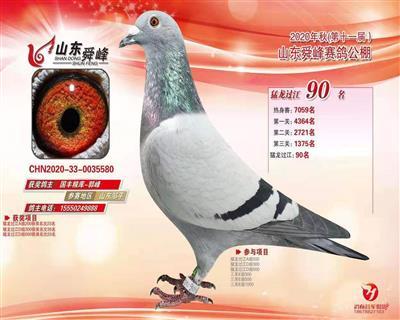2020年秋山东舜峰赛鸽公棚90名