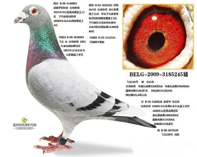 BELG-2009-3185245雄