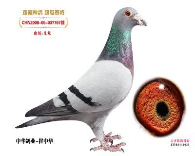 中华鸽业珍藏凡龙