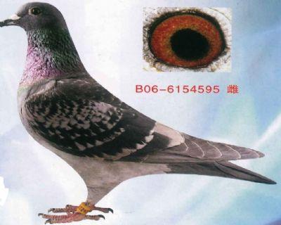 英格斯-种鸽-本舍源头