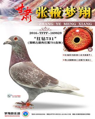 红狐731直孙(红钻731)