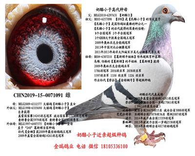 【奶酪小子】直系基础种鸽