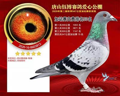 2020年秋唐山钰博公棚赛绩鸽