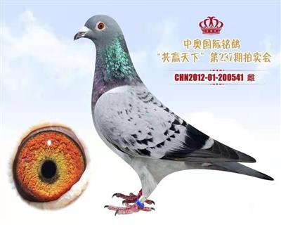 胡本-----中奥做出成绩鸽