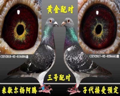 杨阿腾种鸽