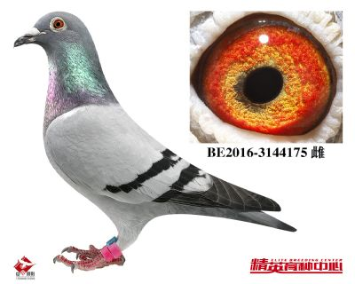 BE2016-3144175