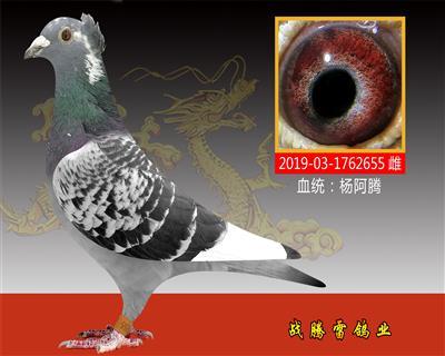杨阿腾种雌655