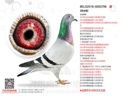 【新金姆】18年KBDB全国大中距离幼鸽