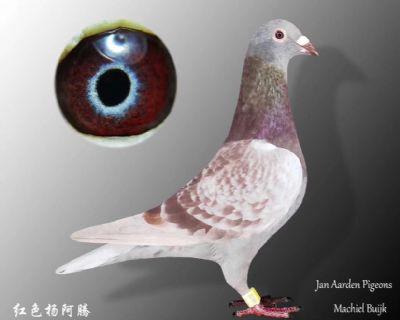 红紫罗兰杨阿腾(已售)