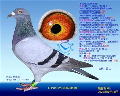中港盖比种鸽-885