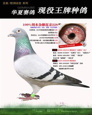 100%胡本多羽入赏鸽母亲