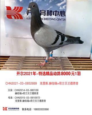 21年特选精品幼鸽8000元1羽