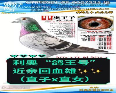 """利奥""""鸽王号""""近亲回血"""