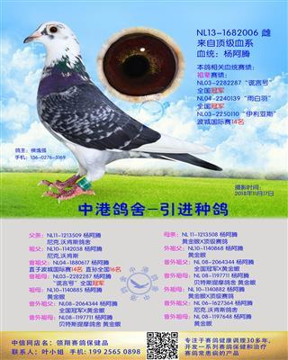 中港长距离种鸽杨阿腾-006