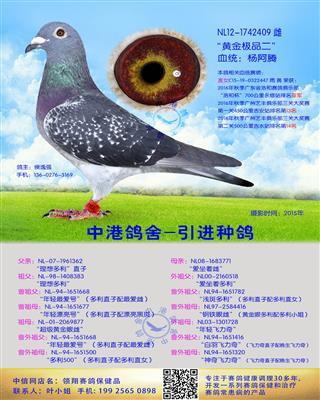 中港长距离种鸽杨阿腾-409