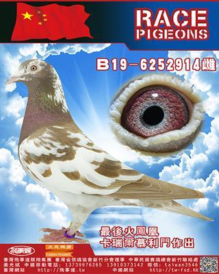 纯血慕利门火�P凰914