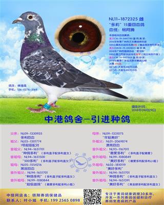 中港长距离种鸽杨阿腾-325