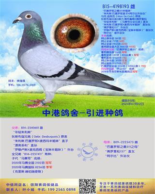 中港长距离种鸽-193