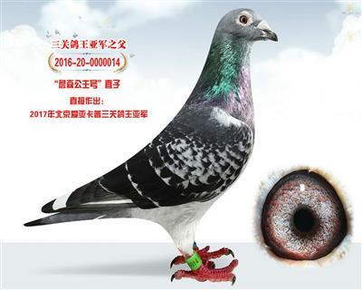 北京爱亚卡普四关鸽王冠军之父