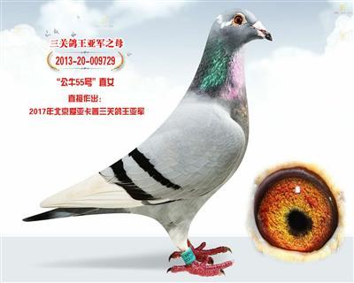 北京爱亚卡普四关鸽王冠军之母