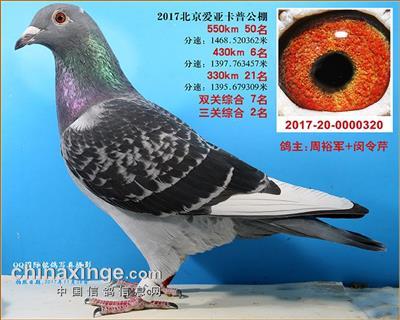 北京爱亚卡普四关鸽王冠军