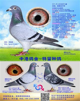 中港威廉吉尔特种鸽-891