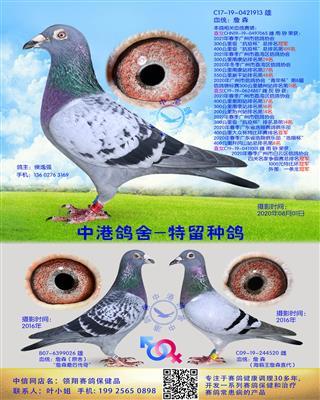 中港詹森种鸽-913