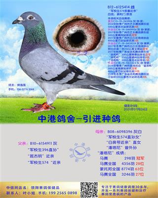 中港慕利门种鸽-414
