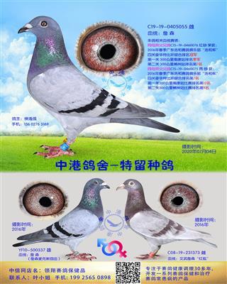 中港詹森种鸽-055