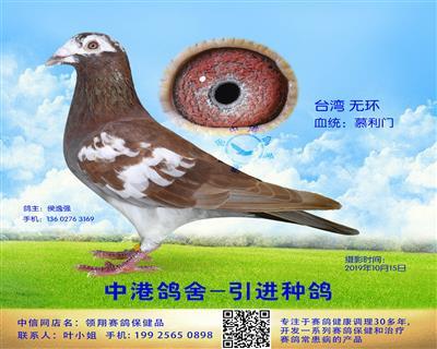 中港慕利门种鸽