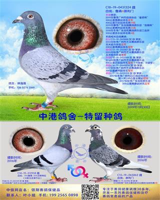 中港慕利门种鸽-324