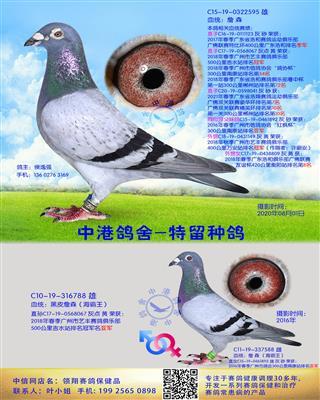 中港詹森种鸽-595