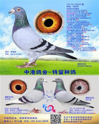 中港克拉克种鸽-652