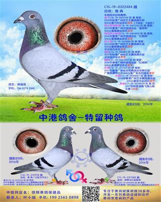 中港詹森种鸽-484