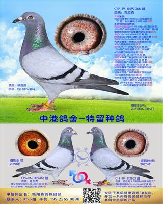 中港克拉克种鸽-066