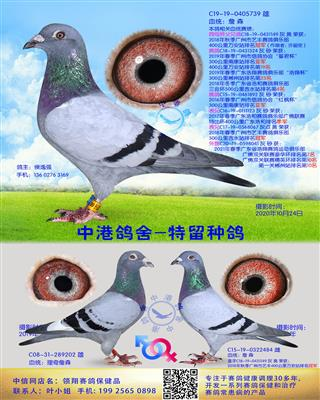 中港詹森种鸽-739