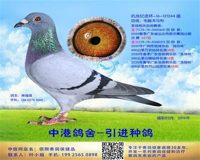 中港电脑戈马利种鸽-244