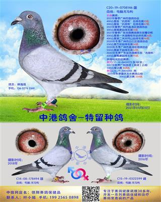中港电脑戈马利种鸽-146