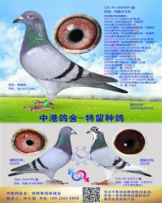 中港电脑戈马利种鸽-899