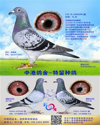 中港凡龙种鸽-098