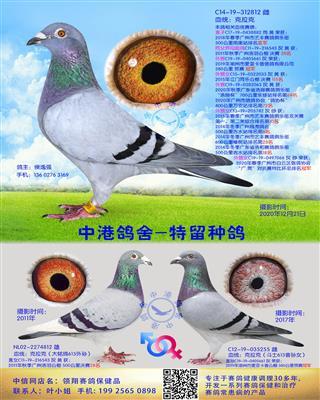 中港克拉克种鸽-812