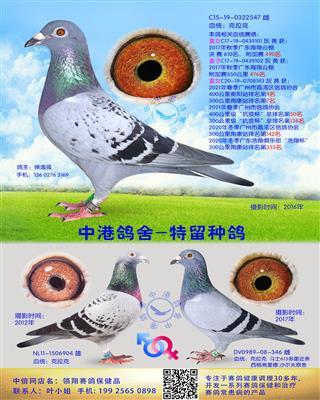 中港克拉克种鸽-547