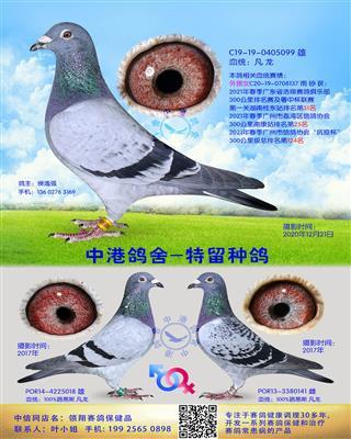 中港凡龙种鸽-099
